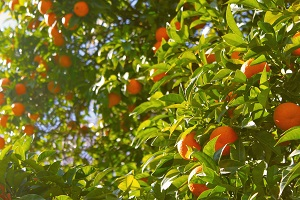 In a campaign marked by unfavorable climatic conditions, record orange production and olive oil production exceeding 1 million hectoliters were exceptions in the agricultural year 2017/18 - 2018