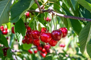 60% decrease in sweet cherry yield - May 2020