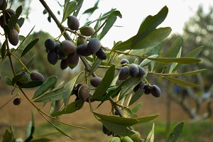 Production of olive for olive oil drops 25% - January 2021